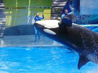 A killer whale leaps from the pool as trainers look on from the deck during a performance last week at Shamu Stadium.